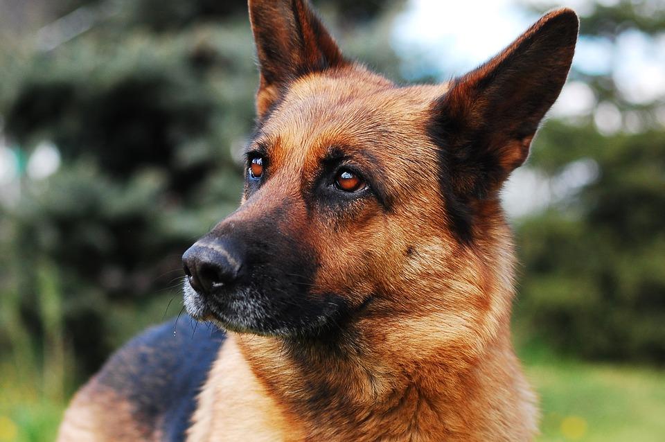 I migliori cani di pastore tedesco a pelo raso